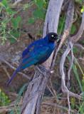 Blauwe langstaartglansspreeuw - Rueppell's Glossy-Starling - Lamprotornis purpuropterus