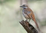 Gevlekte palmlijster - Spotted Morning Thrush - Cichladusa guttata