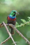 Maricohoningzuiger - Marico Sunbird - Cinnyris mariquensis