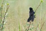 Spiegelwidavink - White-winged Widowbird - Euplectes albonotatus eques