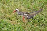 Tanzaniaroodsnaveltok - Tanzanian Red-billed Hornbill - Tockus ruahae