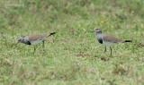 Zwartvleugelkievit - Black-winged Lapwing - Vanellus melanopterus minor