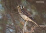 Amerikaanse Torenvalk - American Kestrel - Falco sparverius