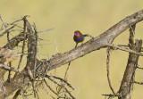 Blauwbuik-granaatastrild - Purple Grenadier - Granatina ianthinogaster