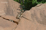 Johnstons Klipdas  - Rock Hyrax - Procavia capensis johnstoni.