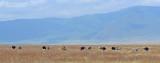 Struisvogel - Ostrich - Struthio camelus massaicus