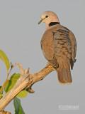 Kaapse tortel - Ring-necked Dove - Streptopelia capicola  tropica