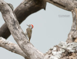 Kardinaalspecht - Cardinal Woodpecker - Dendropicos fuscescens