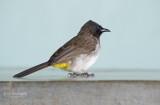 Geelstuitbuulbuul - Dark-Capped Bulbul - Pycnonotus tricolor layardi