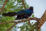 Blauwe langstaartglansspreeuw -Rueppell's Glossy-Starling - Lamprotornis purpuropterus