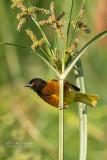 Jacksons wever - Golden-backed Weaver - Ploceus jacksoni