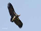 Oorgier - Lapped-faced Vulture - Torgos tracheliotus