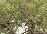 Luipaard - Leopard - Panthera pardus