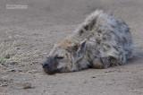 Gevlekte Hyena - Spotted Hyena - Crocuta crocuta