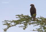 Bruine Slangearend - Brown Snake-eagle - Circaetus cinereus