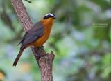 Witbrauwlawaaimaker - White-browed Robin-Chat - Cossypha heuglini