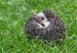 Witbuikegel - African pygmy hedgehog - Atelerix albiventris