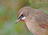 Roodkeelnachtegaal - Siberian Rubythroat - Calliope calliope