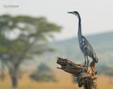 Zwartkopreiger - Black-headed Heron - Ardea melanocephala