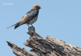 Savannezwaluw - Lesser Striped Swallow - Cecropis abyssinica
