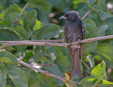 Fluweeldrongo - Fork-tailed Drongo - Dicrurus adsimilis