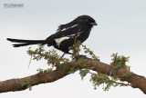 Eksterklauwier - Magpie shrike - Urolestes melanoleucus