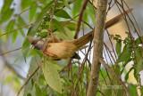Bruine muisvogel - Speckled Mousebird - Colius striatus