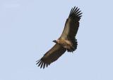 Witruggier - White-backed Vulture - Gyps africanus