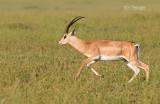 Grants gazelle - Grants gazelle - Nanger granti