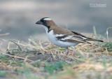 Mahali-wever - White-browed Sparrow Weaver - Plocepasser mahal
