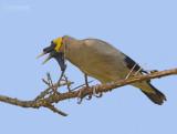 Lelspreeuw - Wattled Starling - Creatophora cinerea