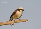 Rüppell-witkruinklauwier - White-rumped Shrike - Eurocephalus rueppelli