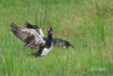 Spoorwiekgans - Spur-winged Goose - Plectropterus gambensis