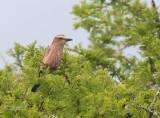 Roodkruinscharrelaar - Rufous-crowned Roller - Coracias naevius