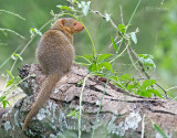 Dwergmangoes - Common dwarf mongoose - Helogale parvula
