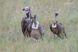 Lapped-faced Vulture  - Ruppells Griffon Vulture - White-backed Vulture