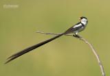 Dominikanerwida - Pin-tailed Whydah - Vidua macroura