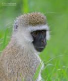 Groene meerkat - Black-Faced Vervet Monkey - Chlorocebus pygerythrus