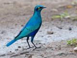 Groenstaartglansspreeuw - Greater Blue Starling - Lamprotornis chalybaeus