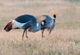 Grijze Kroonkraanvogel - Gray Crowned-Crane - Balearica regulorum