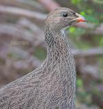 Kaapse Frankolijn - Cape Francolin - Pternistis capensis