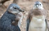 Zwartvoetpinguïn - Jackass Penguin - Spheniscus demersus
