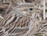 Witkopgors - Pine Bunting - Emberiza leucocephalos leucocephalos