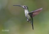 Lawrence Kolibrie - Admirable Hummingbird - Eugenes fulgens   spectabilis