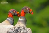 Koningsgier - King Vulture - Sarcroramphus papa