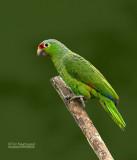 Geelwangamazone Papegaai - Red-lored Parrot - Amazona autumnalis salvini