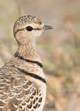 Dubbelbandrenvogel - Double-banded Courser - Smutsornis africanus