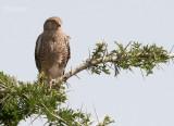 Grote Torenvalk - Greater Kestrel - Falco rupicoloides