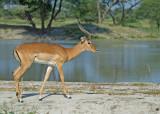 Impala - Impala - Aepyceros melampu