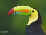 Zwavelborsttoekan - Keel-billed Toucan - Ramphastos sulfuratus